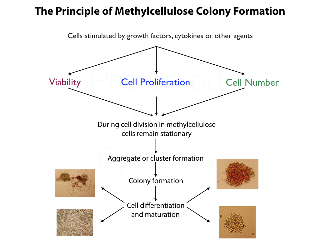 Principle of Hematopoietic Colony Formation in Methylcellulose